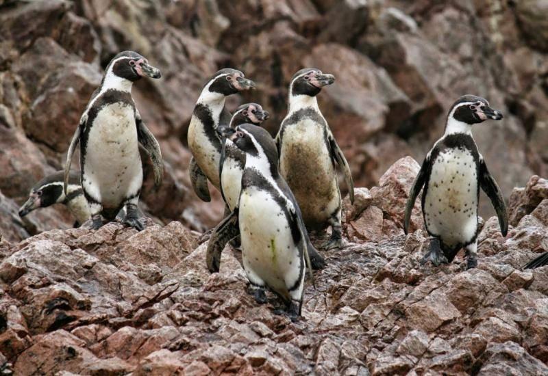 manchots de la réserve de Paracas