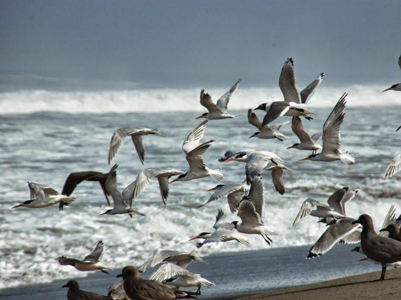 les oiseaux de la réserve de Paracas