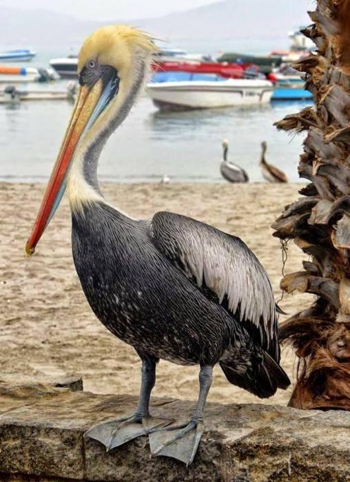 pélican de Paracas